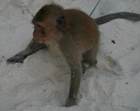 Beach monkeys